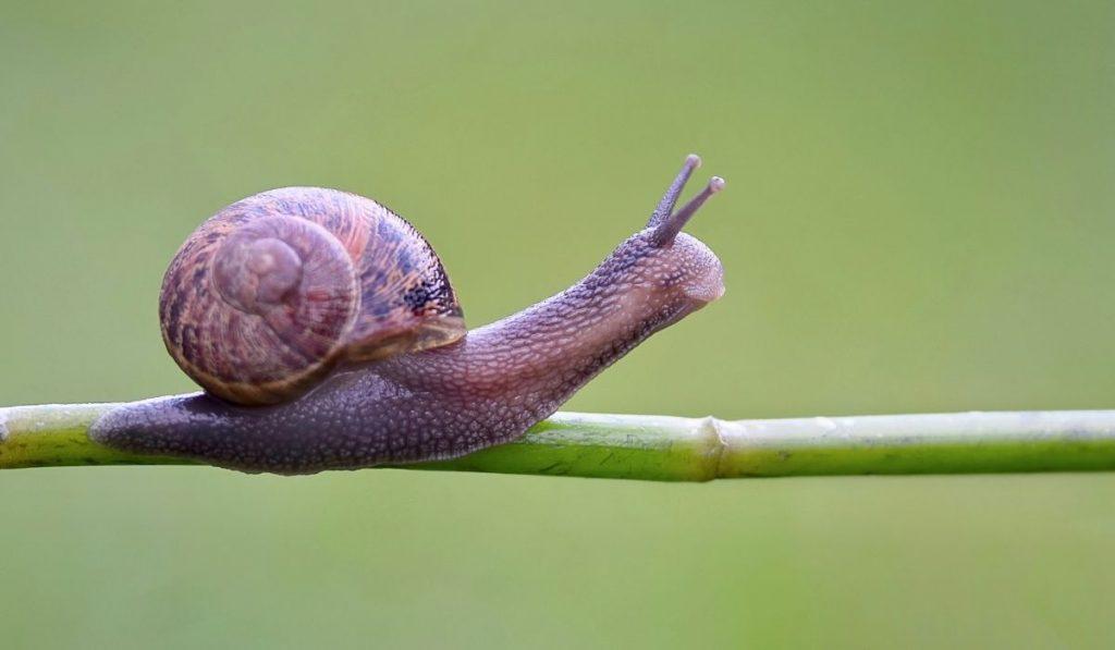 garden snail on a twig