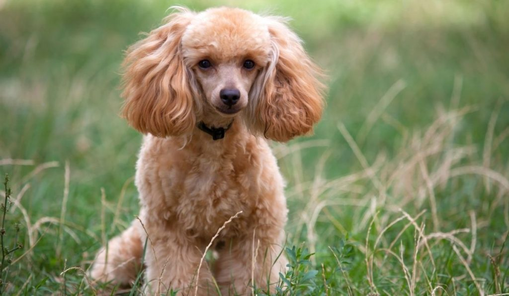 poodle standing on the ground