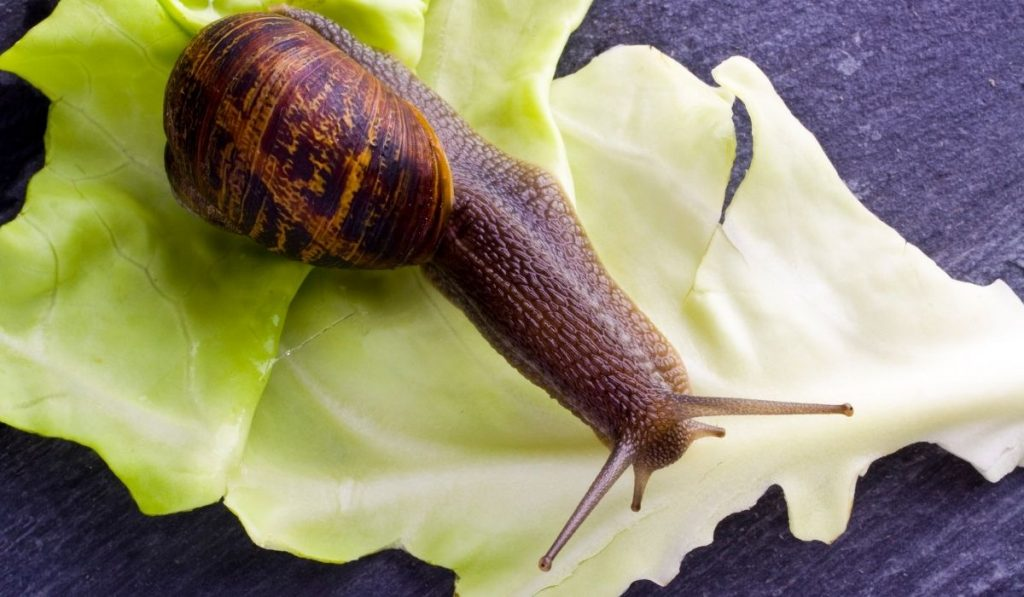 snail eating a cabbage