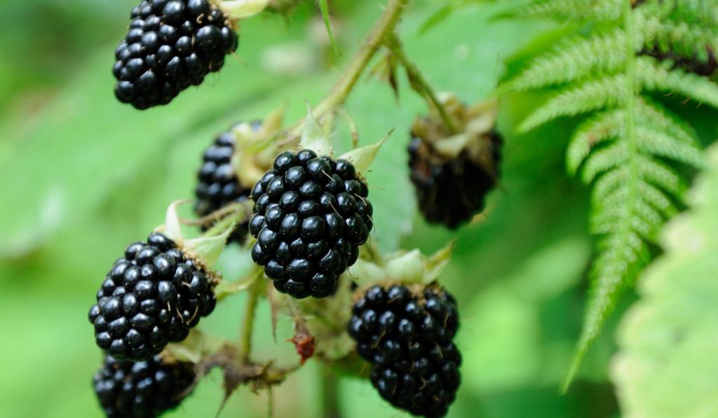 Blackberries still on its tree