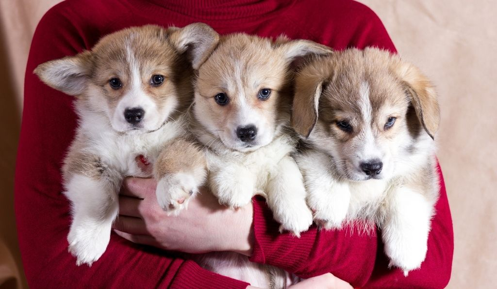 Three corgi puppies carried by a person wearing red long sweatshirt