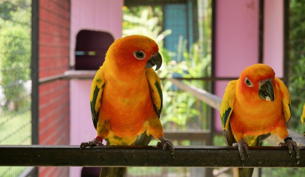 Couple Parrot In The Cage