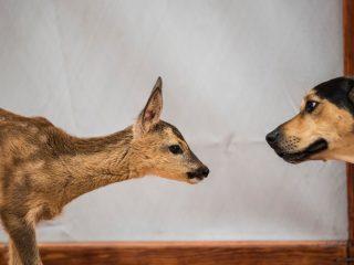 Dog-and-deer