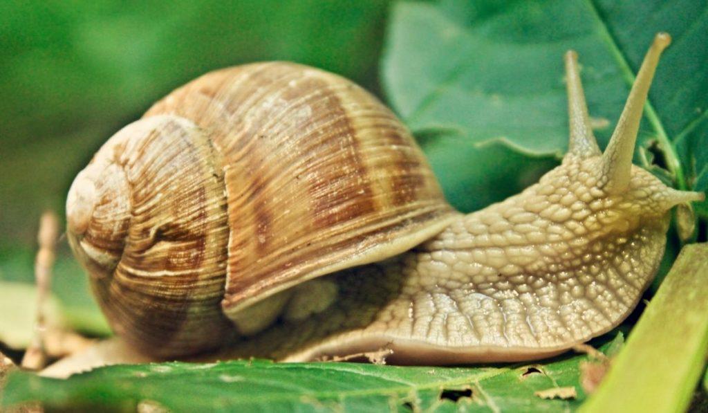 Garden Snail Eating