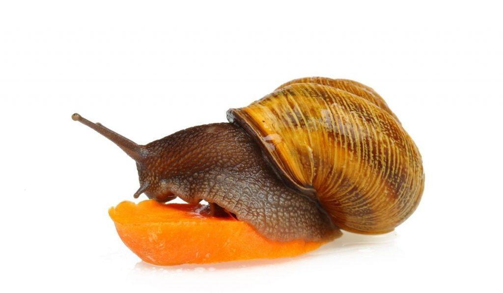 Garden Snail Eating Carrot