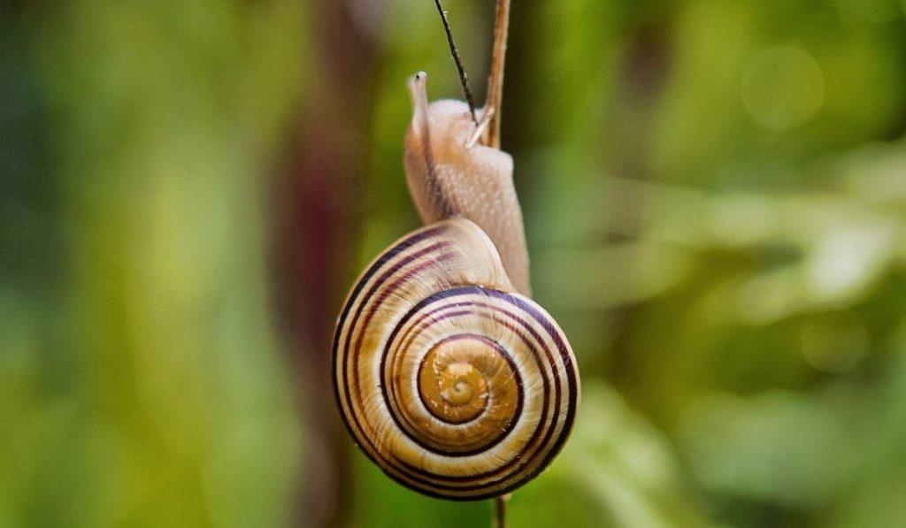 Garden Snail Eating Plant Stem