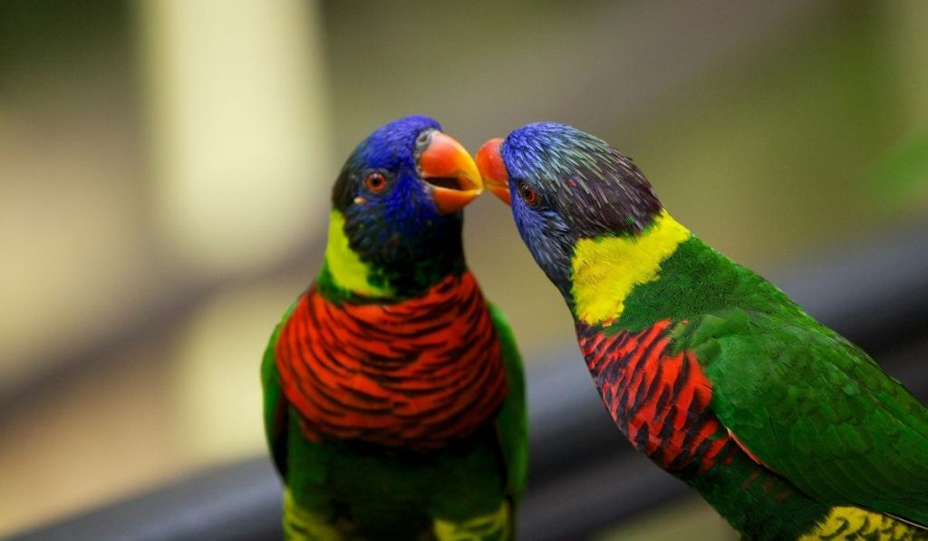 Male and Female Parrot