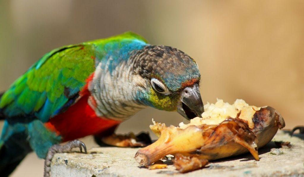 parrot eating banana