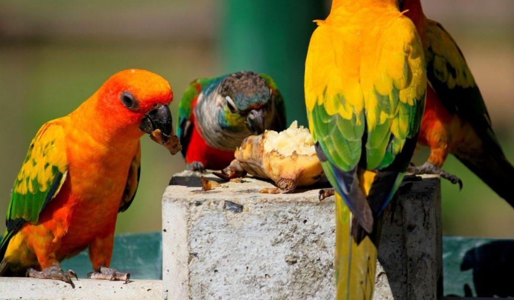 parrots eating together