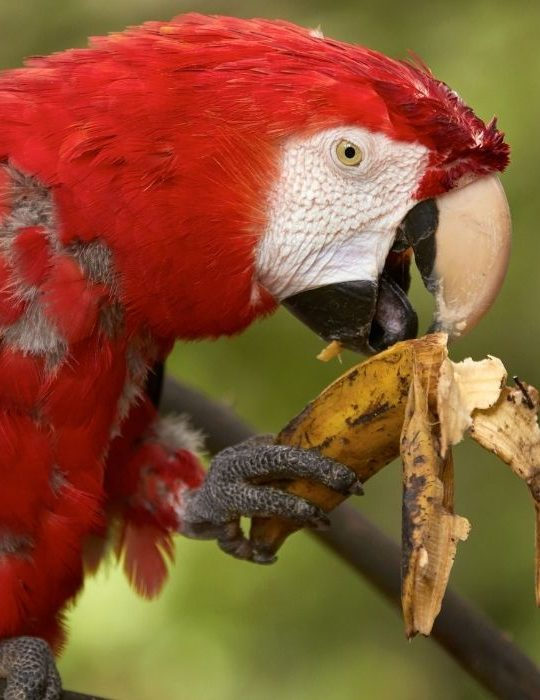 red parrot eating banana
