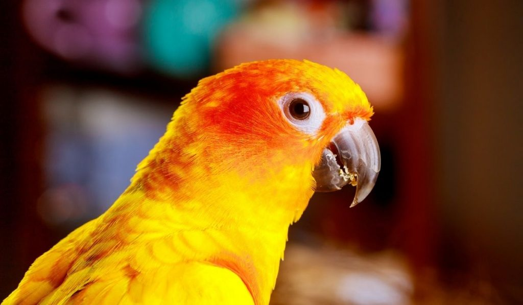 yellow parrot with food residue on the beak