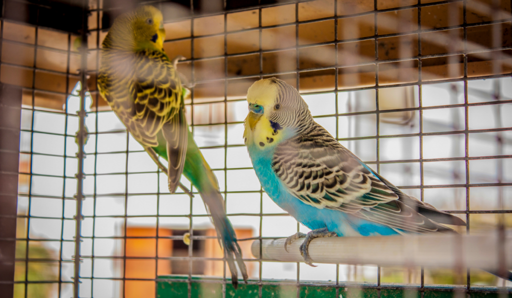 Birds inside the cage