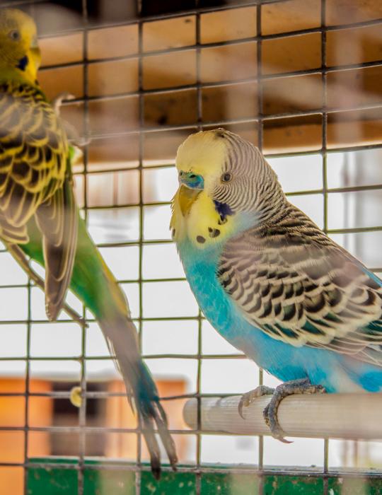 Parakeet-on-cage
