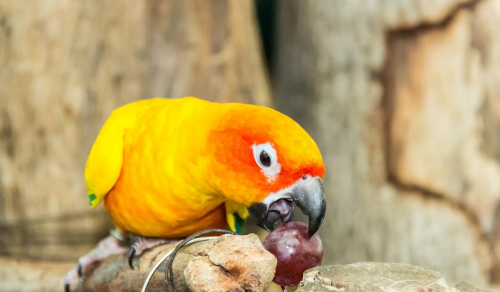 Parrot eating a grape