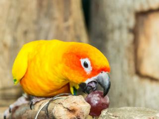 Parrot-eating-grape
