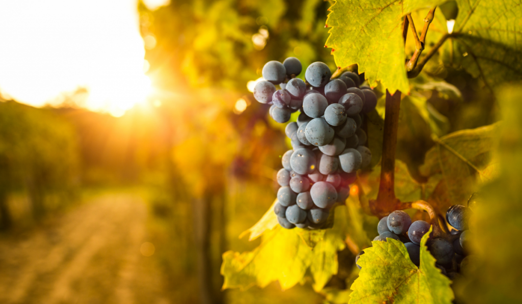 Bunch of grapes in the vines with sunset background