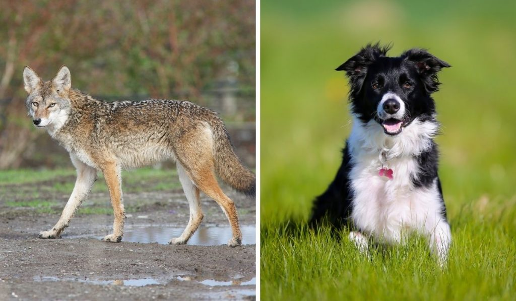 Coyote and Dog