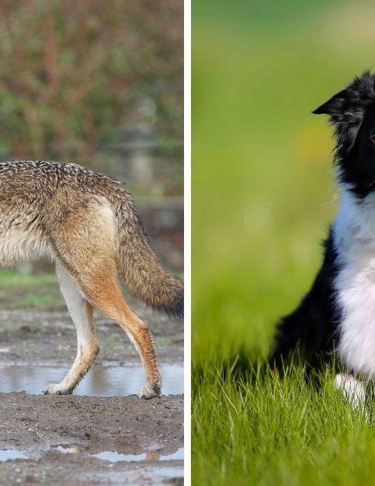 Cayote-and-Dog