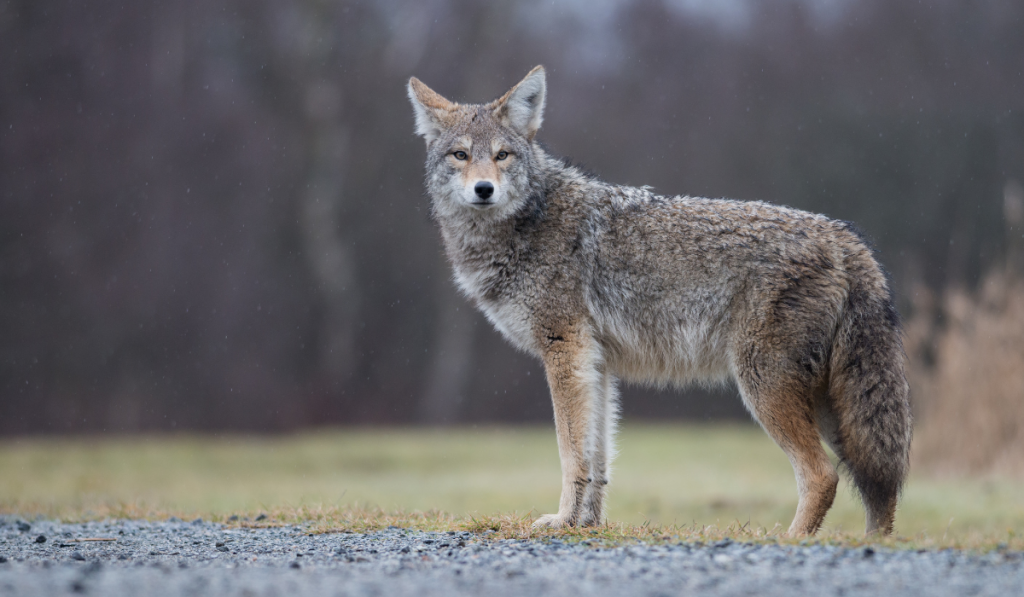 A picture of coyote dog standing.