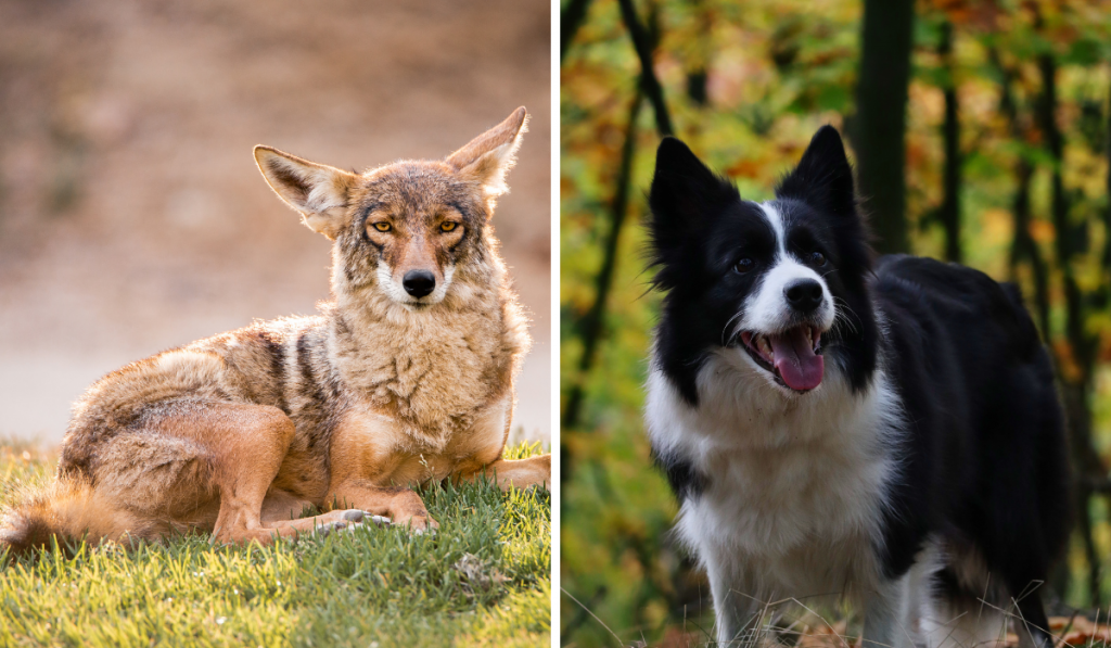 A side by side comparison picture of collie dog and coyote.
