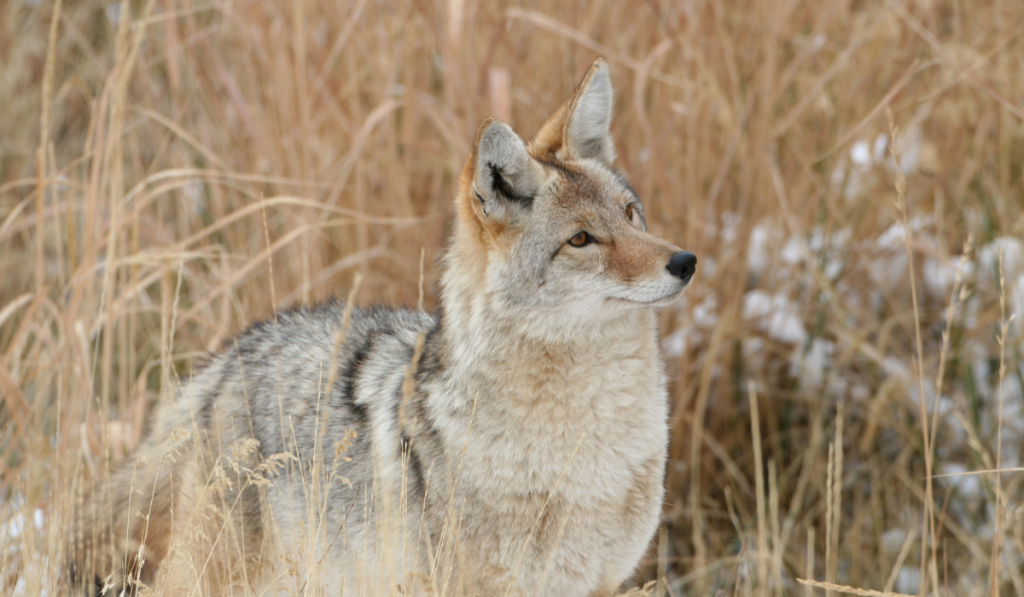 A coyote standing in the bushes looking at something.