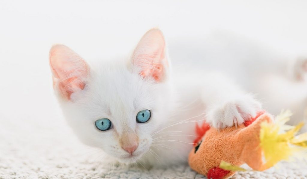 Flame-Point Siamese cat playing with a toy