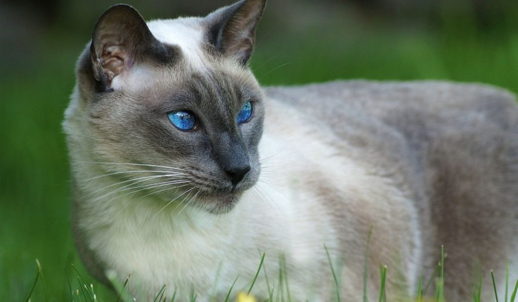 blue point siamese cat on the grass
