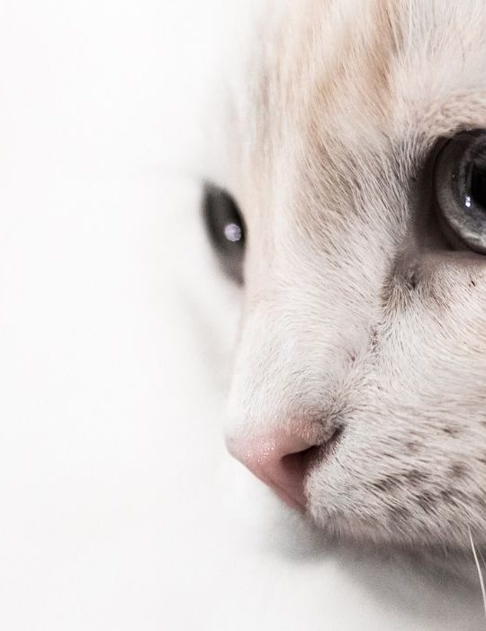 close up of flame point siamese cat