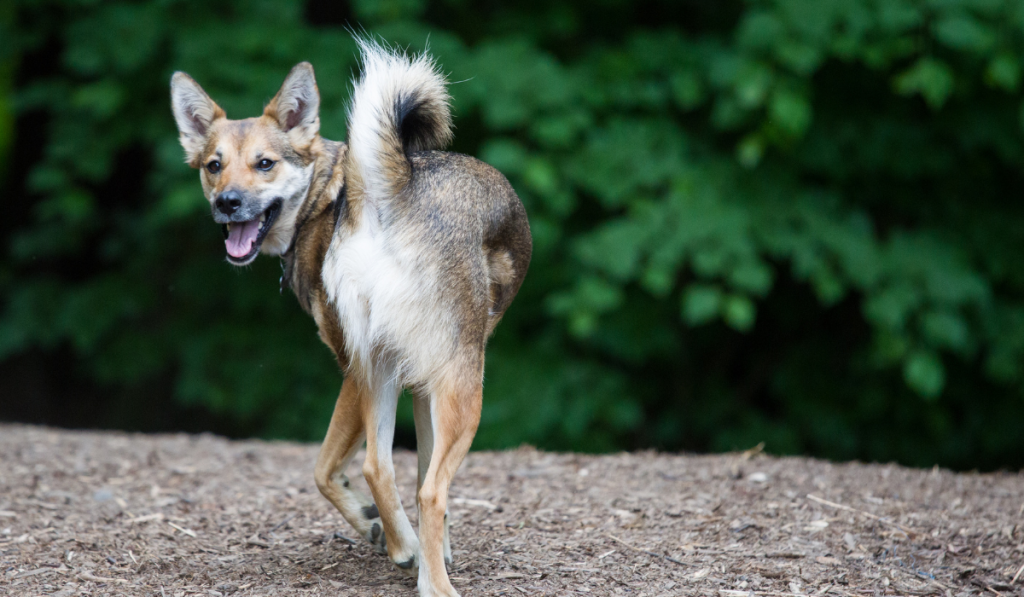 A coydog standing and looking at the back