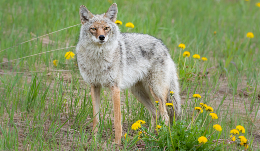A coyoted mixed dog standing on the field with yellow flowers on the side.