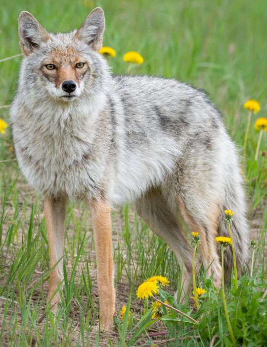 coyote-mix-1