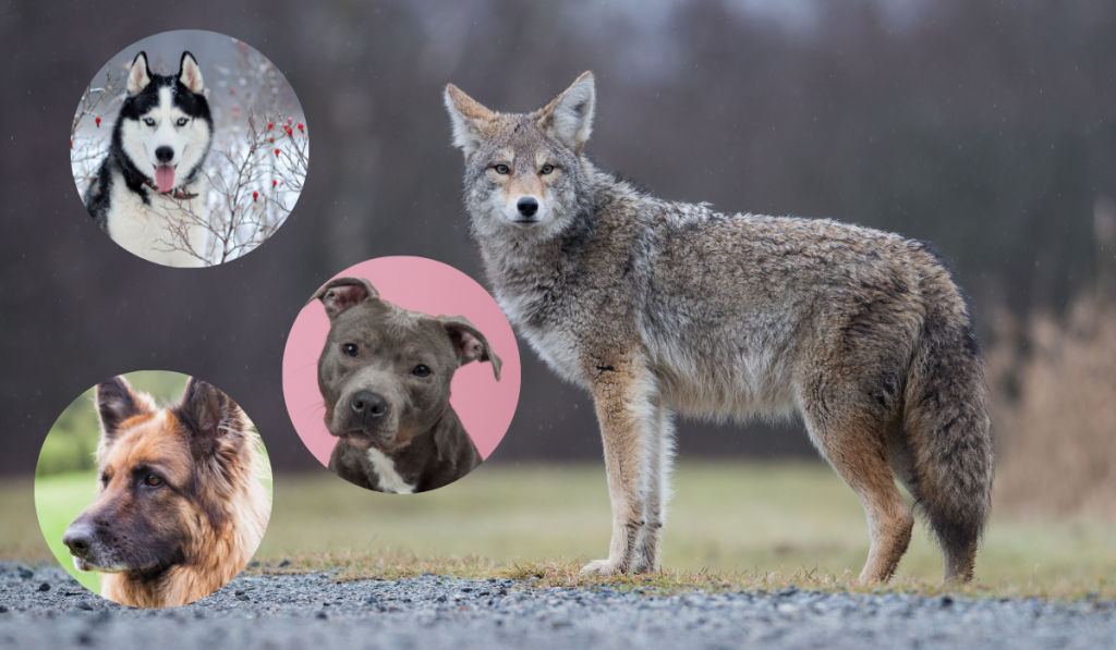 A coyote standing on the grass with pictures of other dogs in circle