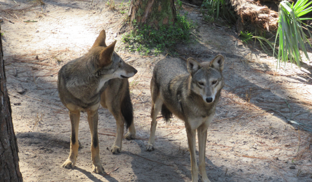 two coyotes standing inside the fores.