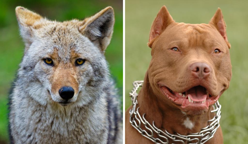coyote-pitbull