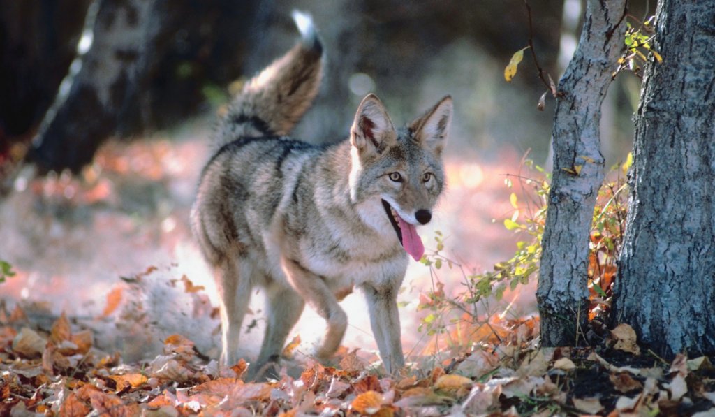 A coyote mix walking inside the forest while sticking its tongue out.