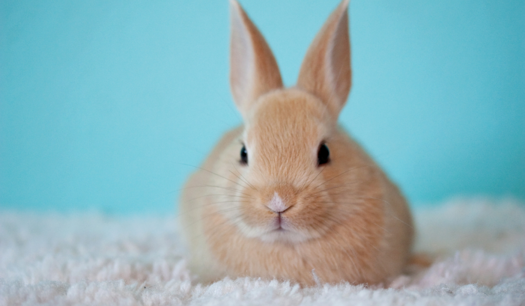 A rabbit resting on a fur cloth with light blue background