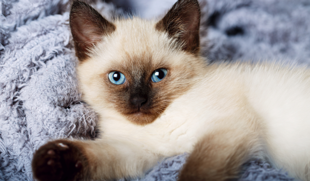 Closeup picture of a cat laying in the blanket
