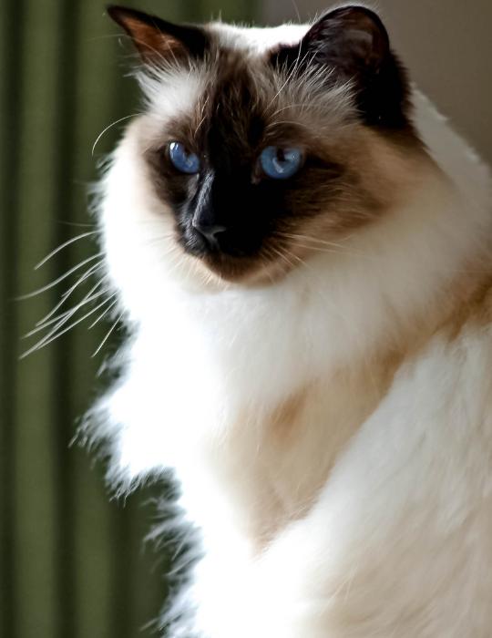 Snowshoe-Balinese-Cat
