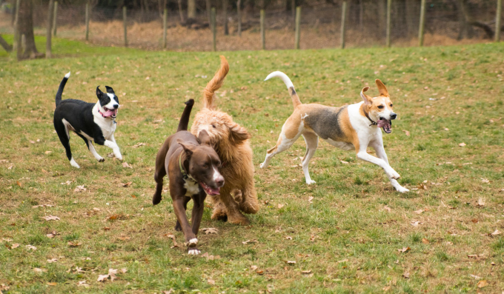 Dogs playing and running in the filed.