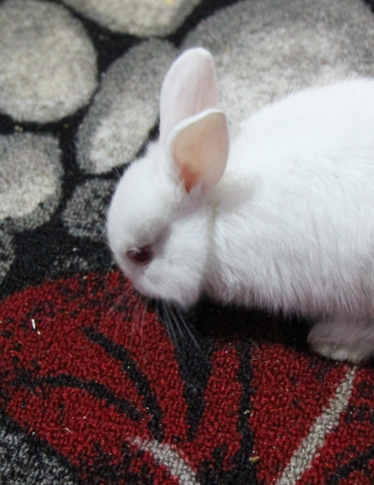 rabbit chewing a carpet