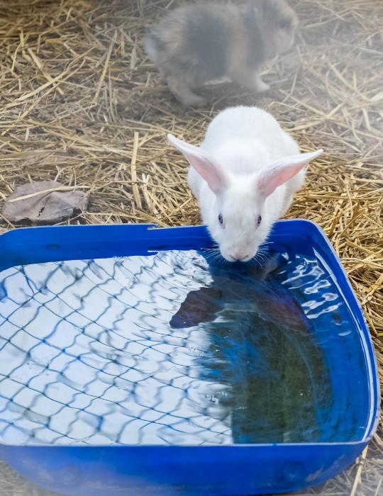 rabbit drinking water from the water bin